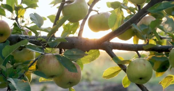 Apples hanging on the tree branches in the sunlight. Good harvest in the garden