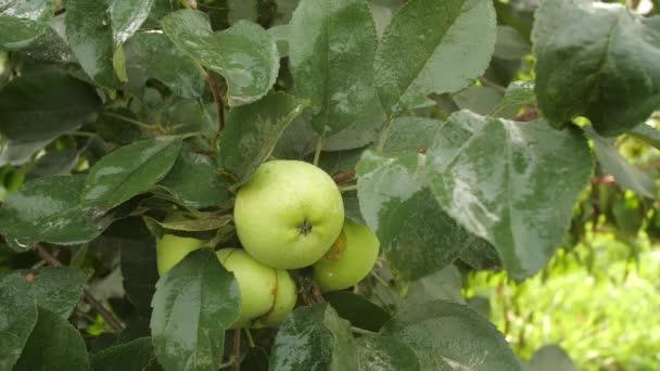Apple tree in the garden.