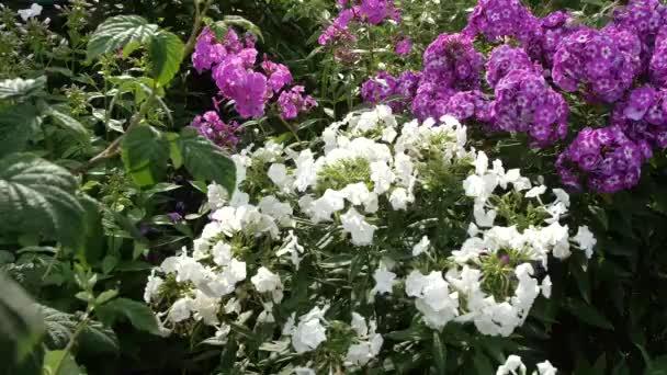 Kvetoucí zahrada. Světlé květiny. Zpomalený pohyb. Design krajinářský záhonu