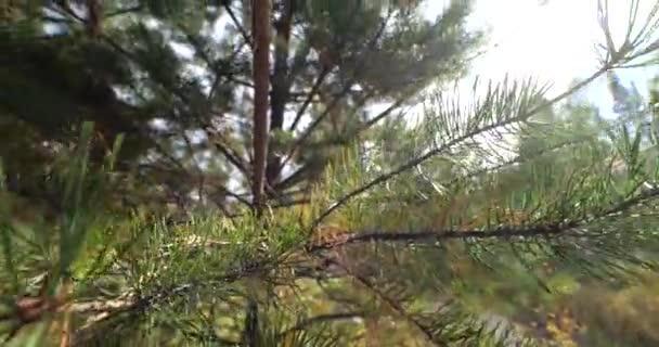 Jehličnaté větve mladého stromu. Zelených jehličnatých stromů