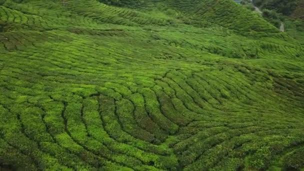 Volo aereo sopra piantagione di tè. Bellissimo campo verde colline. Agricoltura di altopiani di Malaysia. Drone cinematografico