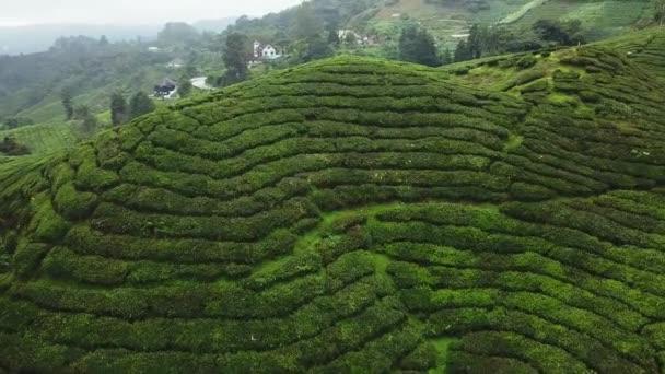 Volo aereo sopra piantagione di tè. Bellissimo campo verde colline. Agricoltura di altopiani di Malaysia. Nebbia di mattina cinematografico drone