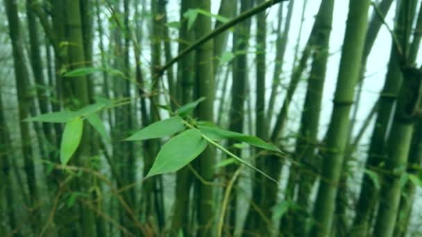 Beautiful bamboo green branch close leaves  details macro plant green wet tropical exotic thickets forest jungle. Asia flora culture. Meditation nature calm