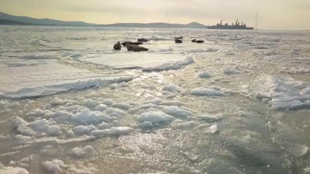 Közel repül a hazug pöttyös prémfókákhoz. Téli fagyos tengeri újonc. Vicces tengeri medvék sütkéreznek a havas jégtáblán. Egyedülálló vadállatok Vladivostok Oroszország. Narancssárga naplemente. Légiutas-kísérő