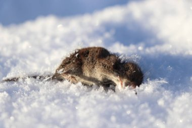 A death grey mouse lying in snow. A bad day for this small animal. Sunny day, new snow. Very cold temperature.