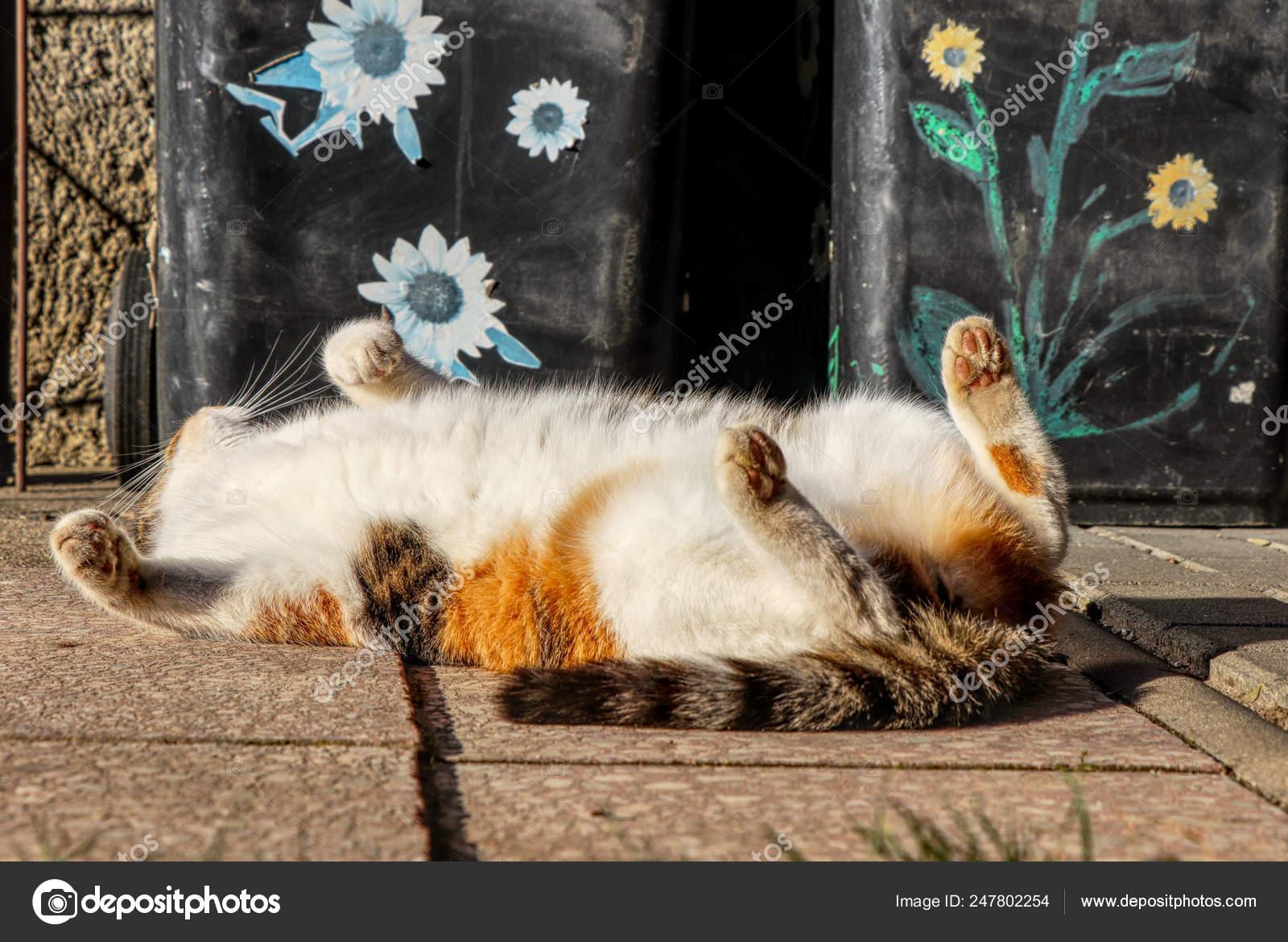 Il Gattino Domestico Colorato Ha Riposo Totale Dopo Il Proprio