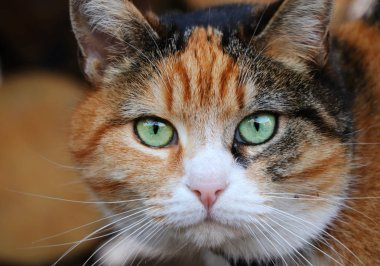 Queen of cats in our street. She is boss of this cat company. This is Mrs Micka. Brightly and magic green eyes. Close up on cat head. Black and redheaded face with magic green eyes