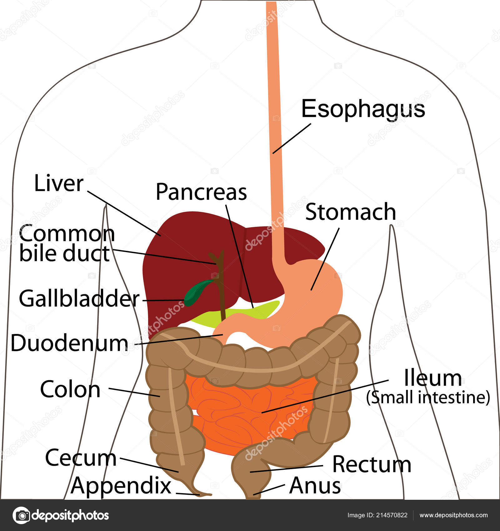 Digestive System Chart Digestive Organs In A Human Body Vector