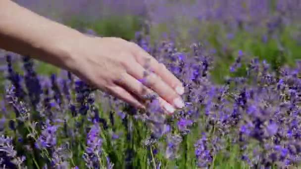 Dámské ruce touch fialové levandule v poli