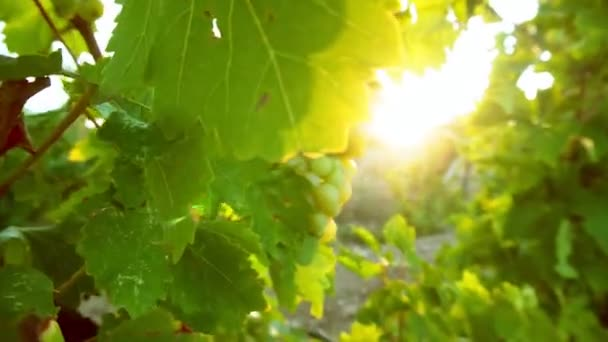 grape leaves in the sunset
