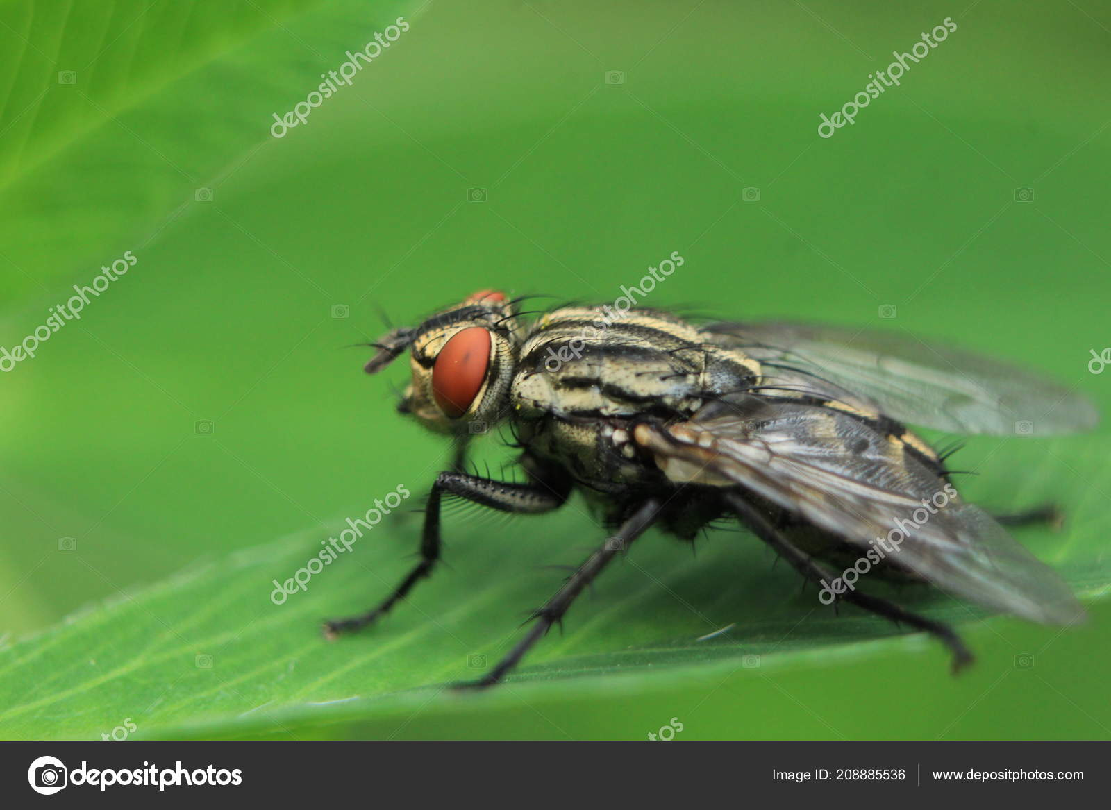 Flies Roomy Two Winged Insects Amazing World Insects Beetles