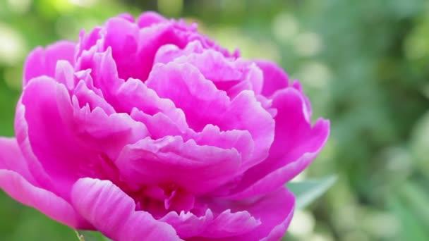 Bazsarózsa (Paeonia officinalis): termesztés, ültetés, gondoskodó. -Growwhttps://www.groww.fpeony virágok egy csokor. Nyári virágok. Videó-Planet virágok. Jellege Nyugat-Ukrajna. A virágok királysága. Bazsarózsa a háttérben a madár énekel.