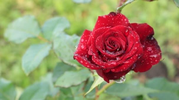 Az egy-egy csokor vörös rózsa. A Királyság a virágok. Fényes vörös rózsa. Virágok, Ukrajna. Meleg nyári nap a virágok kert. Virágok világa.