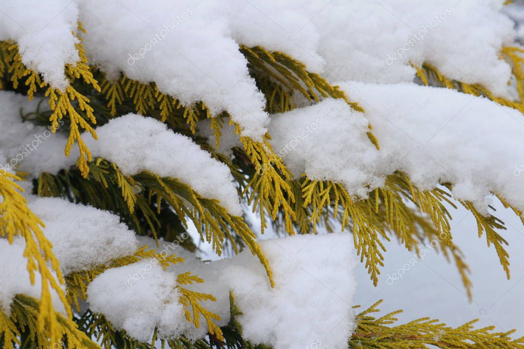 Snow on thuja branches.