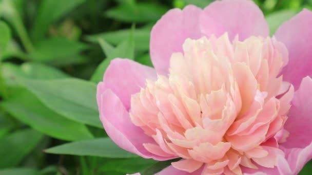 Közös peonythe típusú faj, nagy mély-rózsaszín vagy piros virágok. közönséges neve: közös peonyscientific név: Paeonia officinalisfamily: Paeoniaceaecategory: Perennialstype növény: évelő. Videotelefon úttörő virágokkal és éneklő madarakkal.