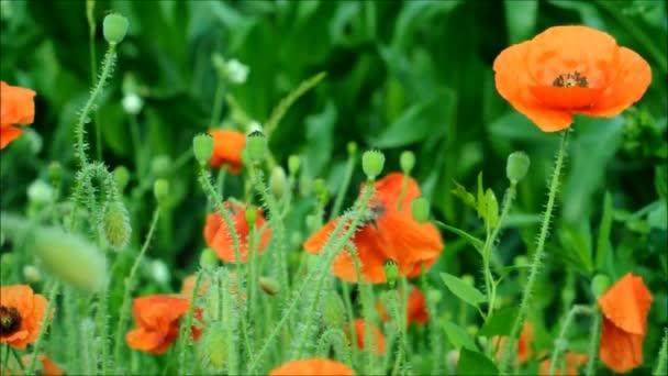 Letní ráno mezi polními červenými máky. Videofon s mákem pod textem. Letní květiny Ukrajiny.