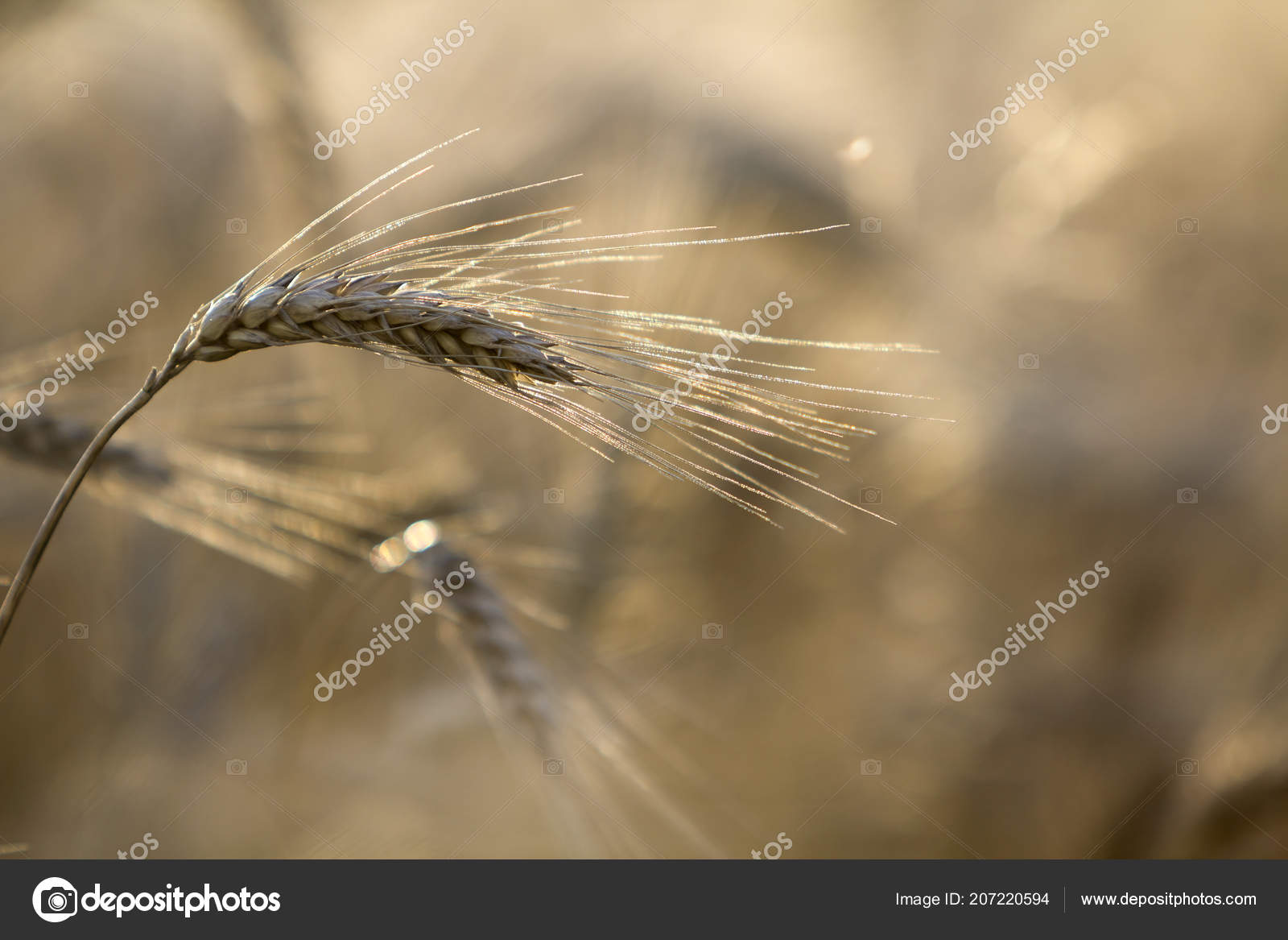 Close Warm Colored Golden Yellow Ripe Focused Wheat Heads