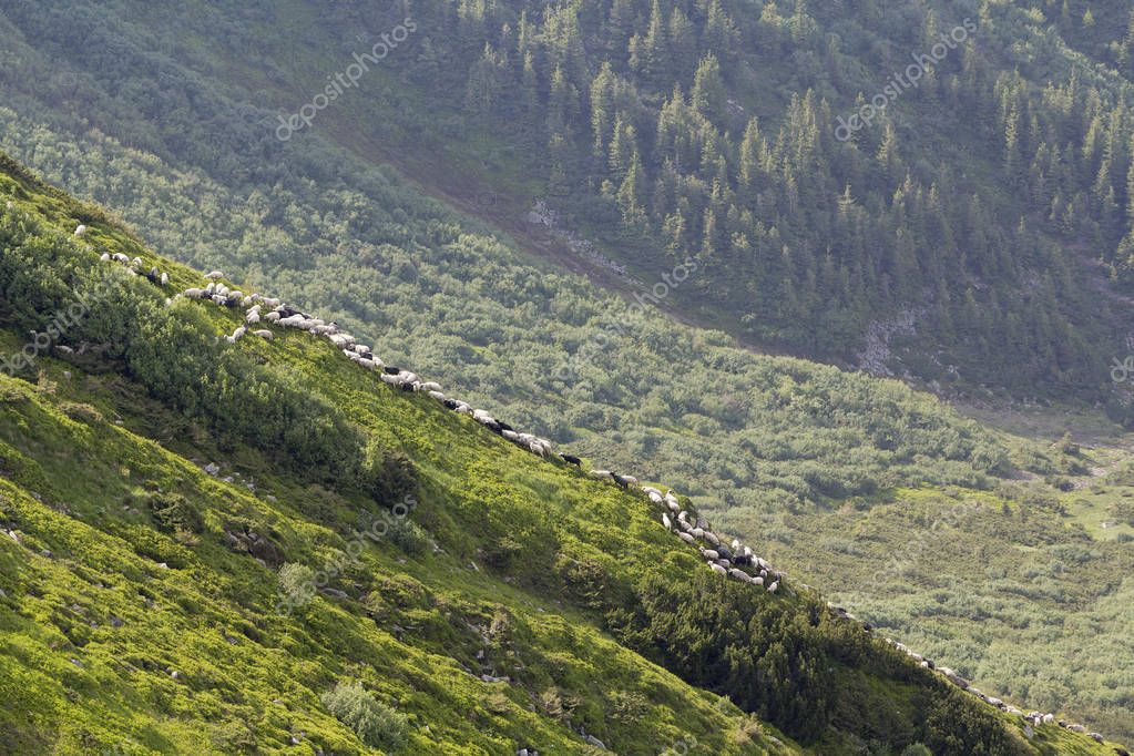 Green grassy steep hill with small silhouette of man shepherd guiding big flock of sheep and lambs on foggy pine trees forest background. Farming and breeding sheep in difficult conditions concept.