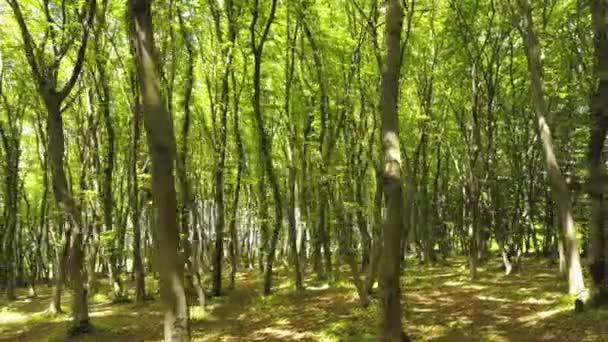 Hustý zelený letní les s mnoha vysokými stromy a ranním sluncem.