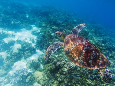 Sea turtle in tropical seashore underwater photo. Cute green turtle undersea. Marine tortoise swims above coral reef. Marine sanctuary for endangered species. Oceanic wildlife. Sea turtle in nature