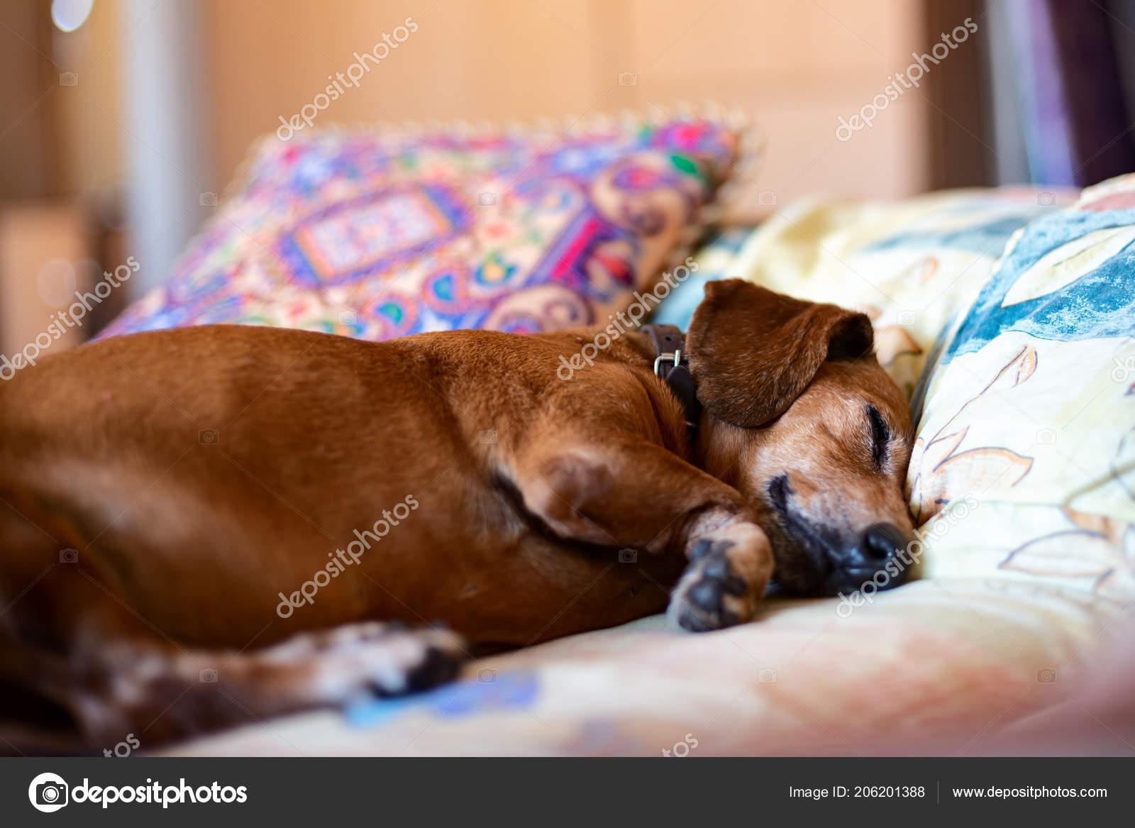 fa36484e1b91 Παλιό όμορφο είδος γερμανικού κυνηγετικού σκύλου γλυκά κοιμάται σε ένα  κρεβάτι σε ένα μαξιλάρι — Εικόνα από ...