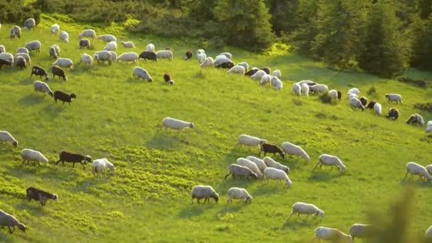 Ovce se pasou na zelené horské louky mezi obrovské jedle při západu slunce