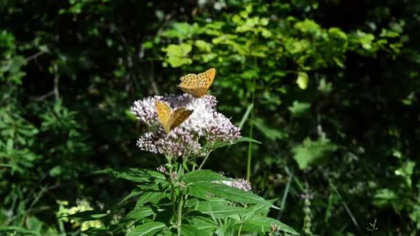 Detail ze dvou oranžové motýlů mávání křídly na fialový květ. Zelené listy