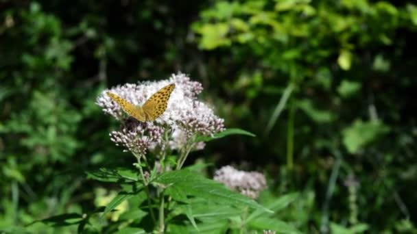 Közelről narancs pillangó szárnyait hullámok egy lila virág. Zöld levelek
