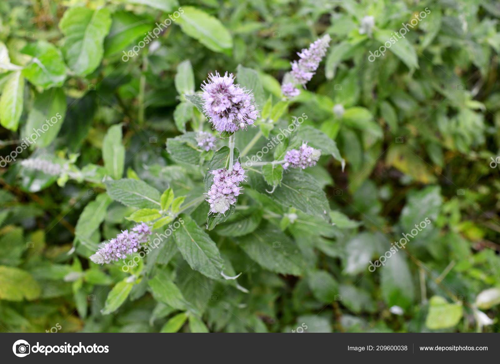 Close Fresh Mint Plant Purple Flowers Grown Forest Aromatic