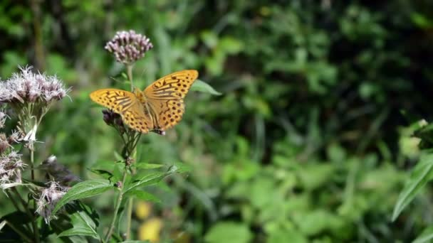 Orange Butterfly Waves its Wings on a Purple Flower and jumps from flower to flower