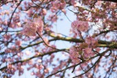 Pink cherry blossoms at spring