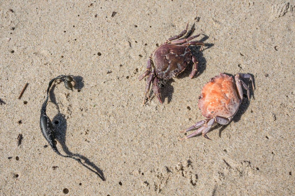 two little crabs facing ready to fight on the beach
