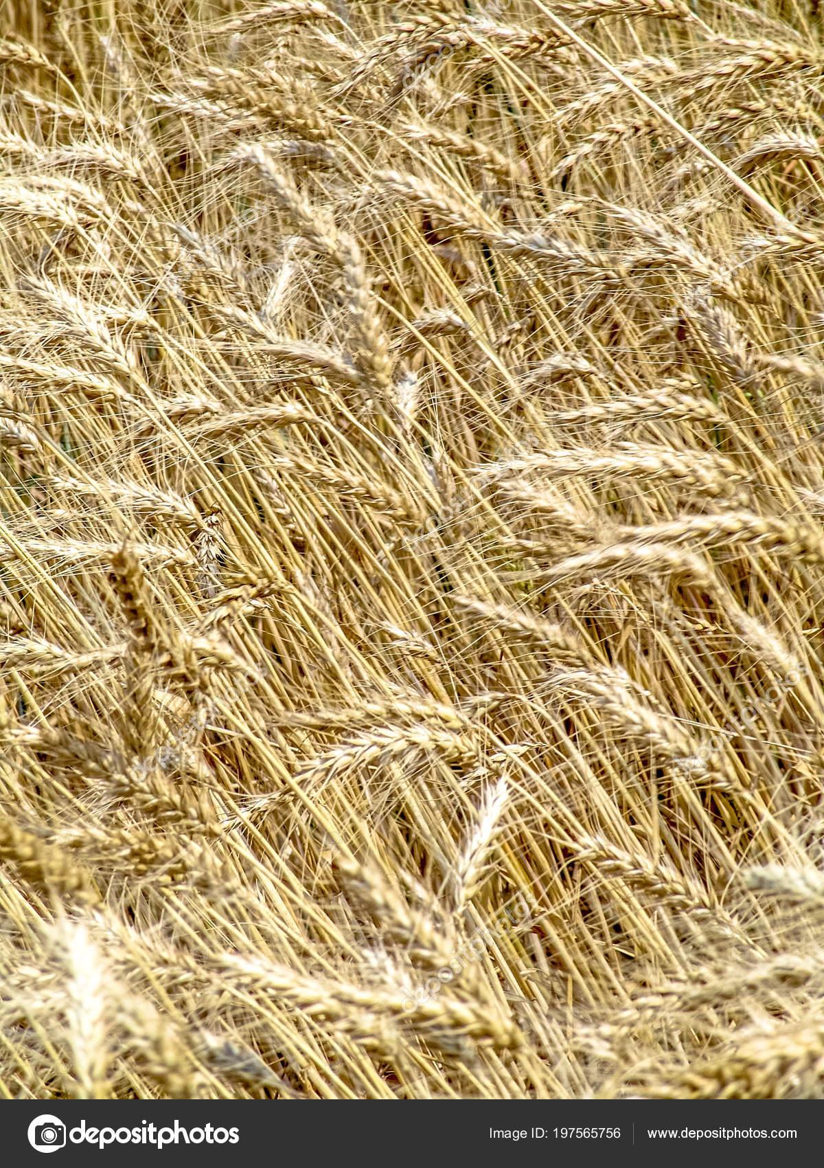 wheat plant field brazil ストック写真 alfribeiro 197565756