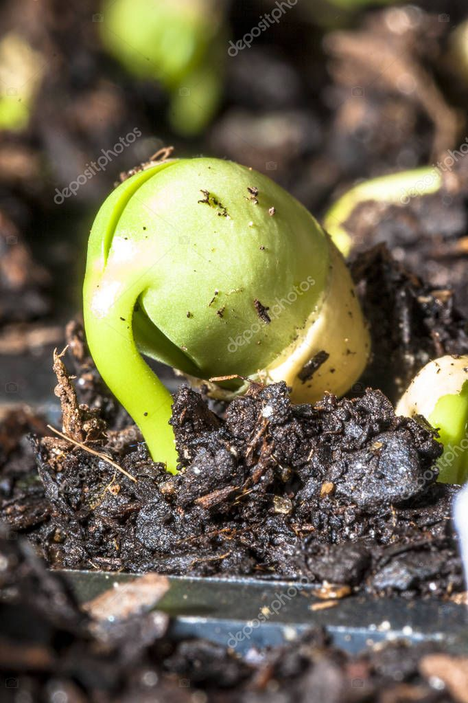 Green bean sprouts on soil in the vegetable garden for concept of growth and agriculture