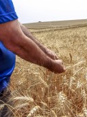 Agronomist analyzing plants in a wheat crop in Brazil