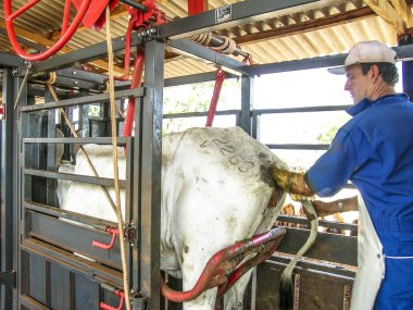 Londrina, PR, Brazil, 10/23/2003. Veterinarian examines and initiates artificial insemination work on a Nelore cow on a farm, in the municipality of Londrina