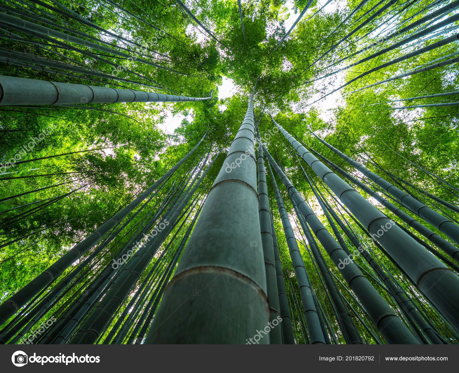 Tall Bamboo Trees In An Japanese Forest Stock Photo C 4kclips