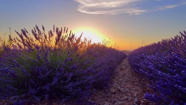 Levandulová pole Valensole Provence ve Francii