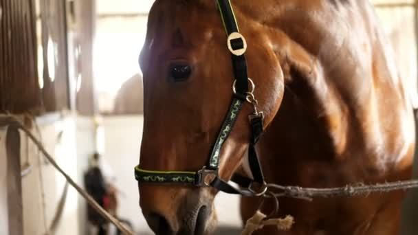 close-up, horse muzzle with smart, big black eyes, in the stable. a brown young handsome horse, a thoroughbred stallion looks directly into the camera. Horse close-up.
