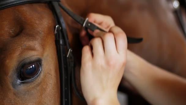 közeli, női kéz, hogy egy kantár, húzza a pofáját, fajtiszta, gyönyörű ló bőrszálak. A ló szeme. Orr-ból egy ló. Mén. Portréja egy ló.