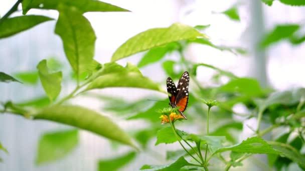 detail, na větvi, mezi listy tam je krásný velký oranžový motýl s krásným vzorem na křídlech. Wiggles křídla