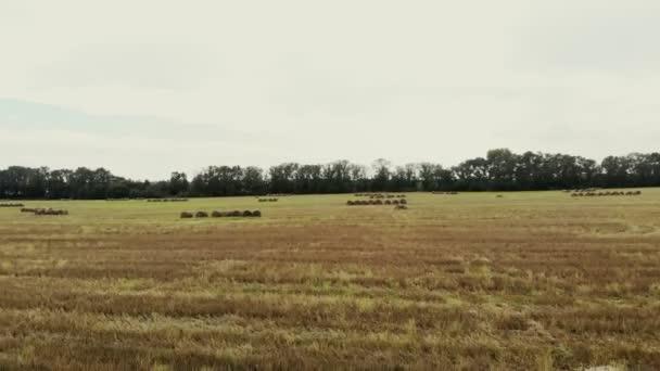 Aero natáčení videa. velké pole pokosené pšenice, po sklizni. mnoho snopy, velké balíky slámy. letní den