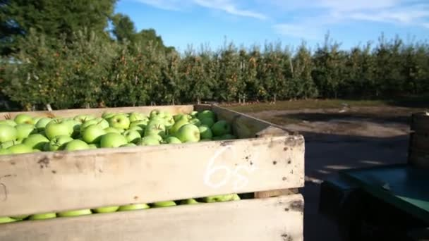 close-up, wooden container, box filled to the top with large green delicious apples during the annual harvesting period in apple orchard. fresh picked apple harvest on farm