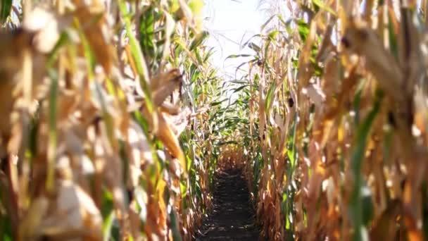 detail, kukuřičné pole, řádky kukuřice ve slunečním světle, sluníčko. Kukuřičné pole na stromech sušená kukuřice je výzva ke sklizni. výběr odrůd kukuřice. čas na sklizeň kukuřice