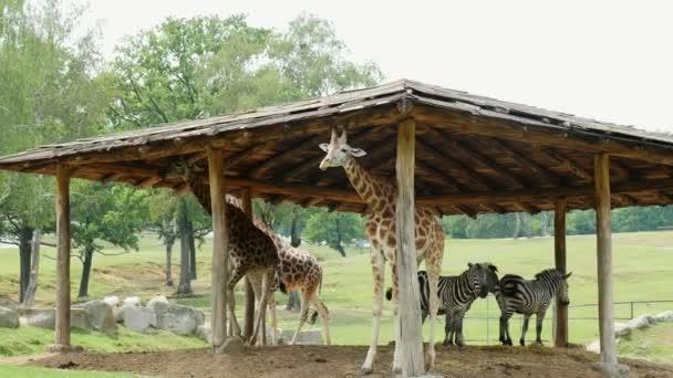 Safari Park Pombia, Itálie - 7 července 2018: zvědavý žirafy v Safari zoo. Cestování v autě. žirafy zelené v parku, žvýkání. v pozadí jsou zebry