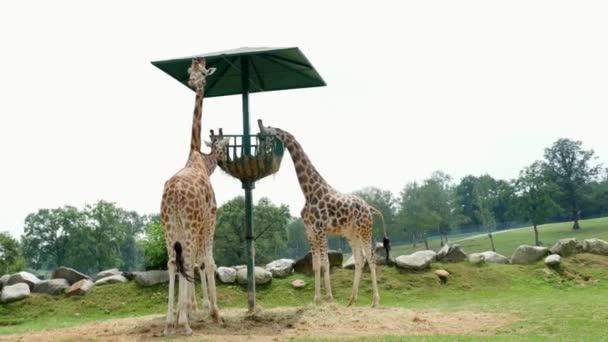 Safari Park Pombia, Olaszország - 2018. július 7.: kíváncsi zsiráfok a Safari az állatkertben. Utazás az autóban. zebrák enni a nagy tálba, rágás