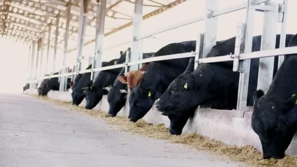 agricoltura bestiame fattoria o ranch. una grande stalla, fienile. Fila di mucche, grande razza nera, allevamento tori mangiano il fieno