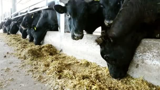 farma hospodářských zvířat zemědělství nebo ranč. velké chlévy, stodola. Řádky z krav, velké černé čistokrevní, plemenných býků jíst seno