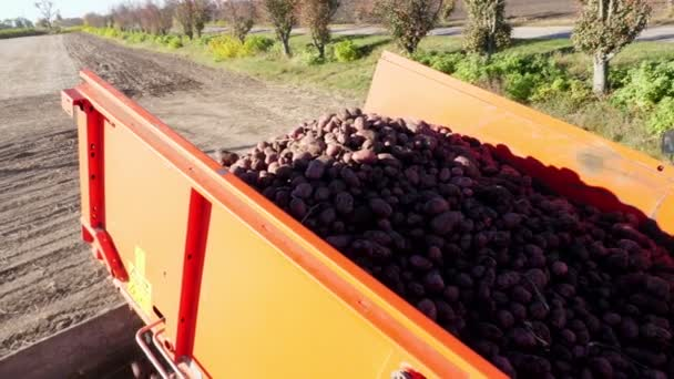 potato harvester unloads potatoes in a Truck for transport. Farm machinery Harvesting fresh organic potatoes in an agricultural field. early autumn. agricultural production sector.