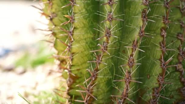 közeli, száraz nagy tű egy kaktusz